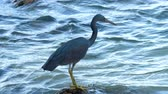 garça : Pacific reef heron hunts for fish