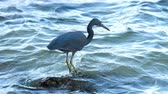 garza : Pacific reef heron hunts for fish