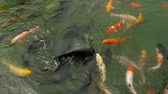 złota rybka : Koi fish and silver carp in pond eating. Wideo