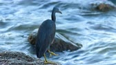 heron : Pacific reef heron hunts for fish