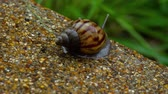 csiga : Garden snail crawling on pavement