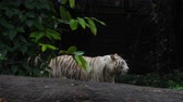 虎猫 : Couple of white tigers
