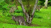 kanguru : Kangaroo eating grass on a safari park