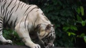besta : Gorgeous white tiger