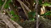 thai : Common Myna -Acridotheres tristis-