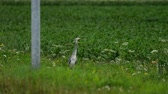 стенд : Grey heron standing in field of farmland Стоковые видеозаписи