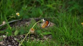 migrating : Monarch butterfly on flower