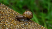 slime : Garden snail crawling on pavement
