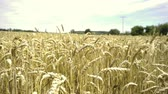 рожь : Yellow grain ready for harvest growing in a farm field Стоковые видеозаписи