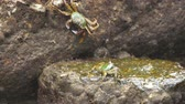 nai harn : Crabs on the rock at the beach Stock Footage