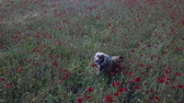 dog in red Poppy field aerial view panorama landscape Vídeos