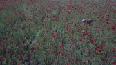 mák : dog in red Poppy field aerial view panorama landscape Dostupné videozáznamy