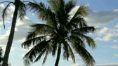 repousante : Zoom back from palm tree blowing and swaying in the wind. Vídeos