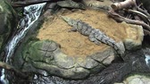 gwóżdź : Freshwater crocodile sunning itself by a quickly running stream. Wideo