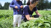 morango : Asian chinese child and mother picking strawberry on a farm