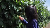 Asian chinese child picking strawberry on a farm