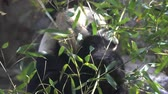 raro : close-up of Giant Panda eating bamboo leaves