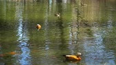 waterbird : mandarin duck swim in the lake
