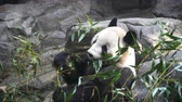 Giant Panda eating bamboo shoots in the zoo