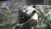 панда : Giant Panda eating bamboo shoots in the zoo