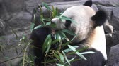 панда : close-up of Giant Panda eating bamboo leaves