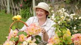 hortênsia : glad mature woman gardener taking care of bush roses outdoors on summer day