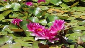 waterlily : White Nymphaeaceae, growing in quiet waters of pond Stock Footage