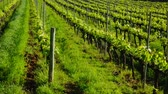 flower growing sun : Green european vineyards located among the mountains, hills, meadows