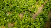 espinafre : Image of seedlings of Malabar Spinach growing in sunny greenhouse