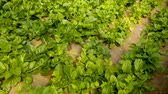 ceylon : Image of seedlings of Malabar Spinach growing in sunny greenhouse