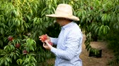 Serious man gardener in hat picking fresh peaches from tree in garden Stock Footage