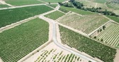 белое вино : Aerial view of the vineyard grape vines at sunny day