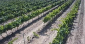 Aerial view of Grape plants in august Stock Footage