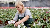 Mature female gardener choosing flowers of white cyclamen in pot in greenhouse