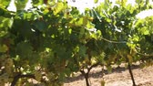 белое вино : Blurred vineyard background