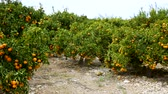привлекательность : Harvest time. Ripe juicy orange mandarins on trees in orchard