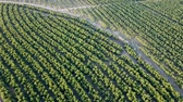 привлекательность : View from drone of ripe peach trees in sunny summer day