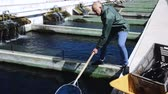 aquaculture : Male worker catching fish on outdoor farm Stock Footage