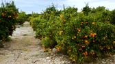 agribusiness : Ripe juicy orange mandarins on trees in orchard Stock Footage