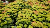 florescence : Hydrangea. Green plantation of new-blown flowers in greenhouse