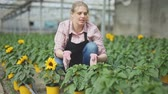 hortênsia : Positive woman farmer examining plants for sunflower for growing better Stock Footage