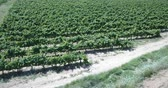 Aerial view of the vineyard grape vines at sunny day