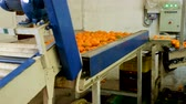 Industrial production sorting line of fruits