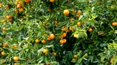 мандарин : Ripe juicy orange mandarins on trees in orchard Стоковые видеозаписи