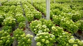 Hydrangea or hortensia. Field of potted green flowers in hothouse