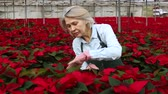 Portrait of mature woman florist working in greenhouse, checking seedlings of Poinsettia pulcherrima