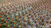 berçário : Picture of seedlings of tomatoes growing in pots in hothouse, nobody