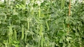 ervilha : Peas plants carefully growing at glasshouse farm