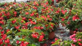 cachos : Row of pots with flowering red begonia semperflorens cultivated in modern hothouse