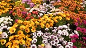 plant fertilizer : Close up of assortment of African daisies growing in greenhouse farm Stock Footage